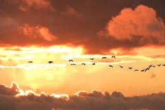 Reader's Photo: A timely flypast of Canada Geese