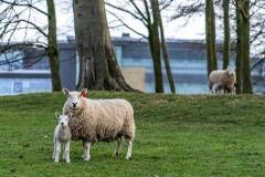 It's been a busy lambing season at Alderley Park